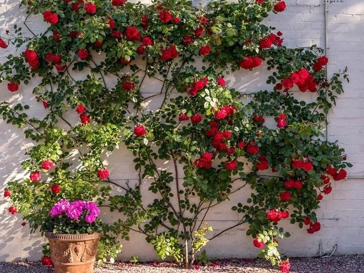 Jak dbać o sadzonki róż? Gdzie je kupić?